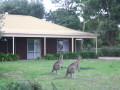Banksia Kangaroos